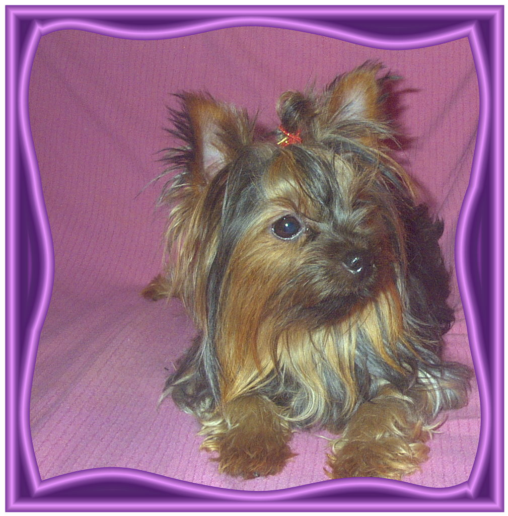 Akc Registered Poodle Puppies For Sale Akc Yorkie Poodle Pups For